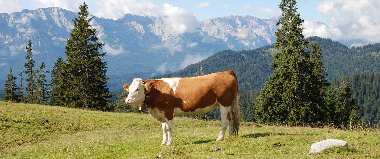 Almweide im Karwendel bei Krün