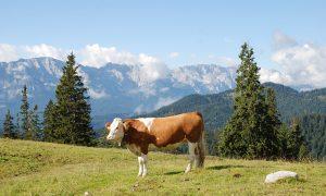 Kuh auf der Alm im Karwendel für Bergbauern-Milch