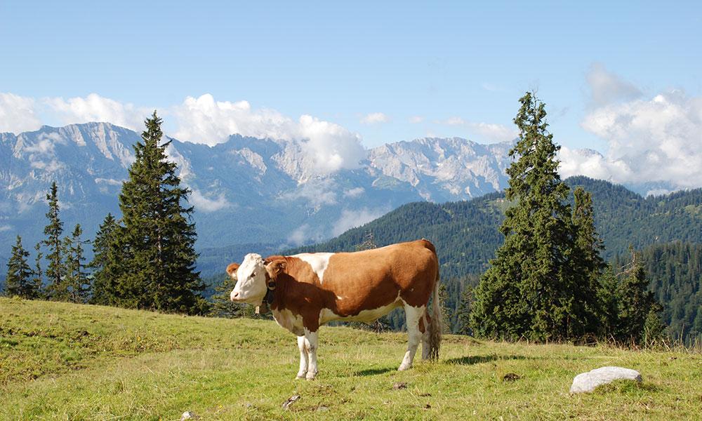 Kuh auf der Alm im Karwendel