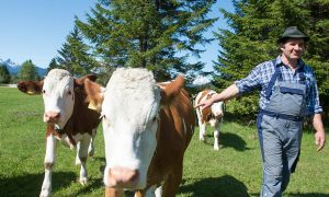 Kühe auf der Sommerweide mit Bergbauer Heiss