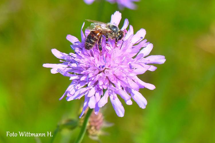 Witwenblume schmeckt auch den Bienen